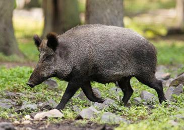 6月6日罗马尼亚新发1起野猪非洲猪瘟疫情