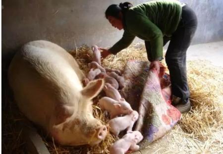 """临产母猪的真假""""非洲猪瘟""""诊断"""
