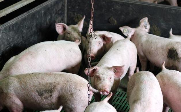 养猪场必须办好8个证件 否则禁止从事生猪生产