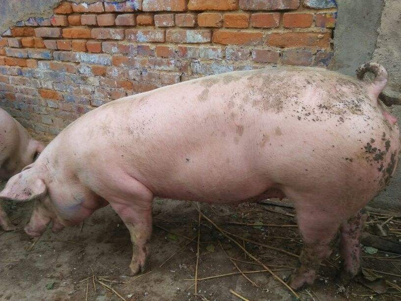 2019年06月15日全国各省生猪价格内三元价格报价表
