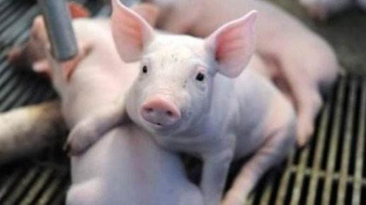 2019年6月15日仔猪价格:10公斤仔猪价格行情走势