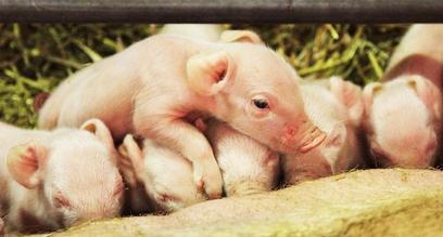 2019年6月15日仔猪价格:15公斤仔猪价格行情走势