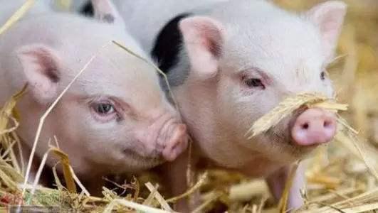 2019年6月15日仔猪价格:20公斤仔猪价格行情走势
