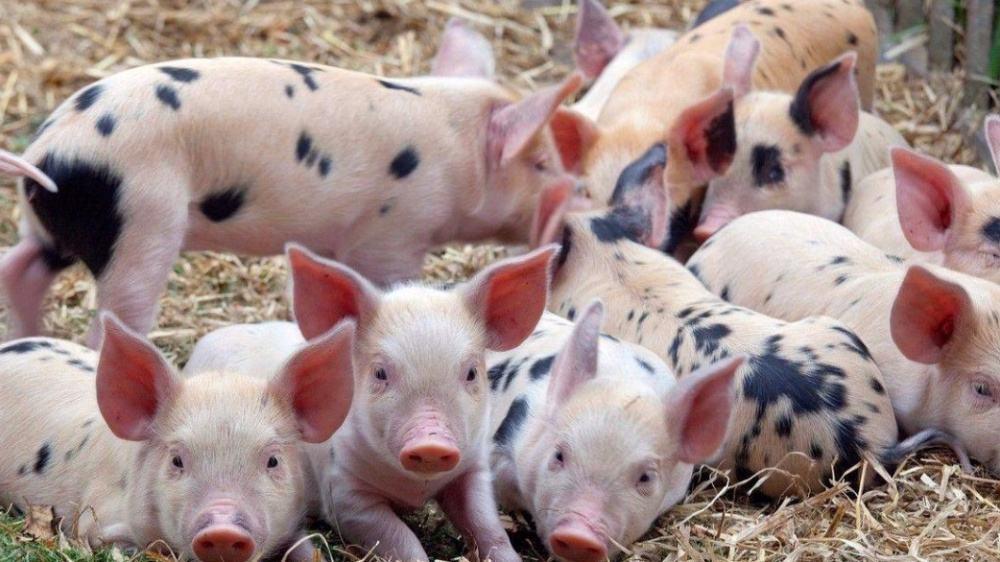 浅谈猪群耐受力的培养及意义!