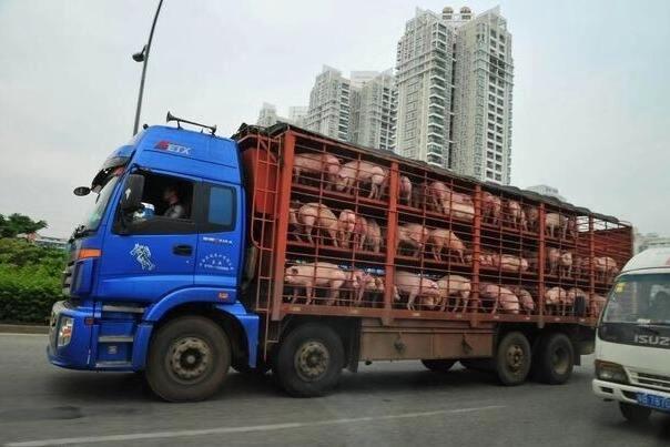 广西查获一起特大非法调运生猪案件,总价值300多万元!