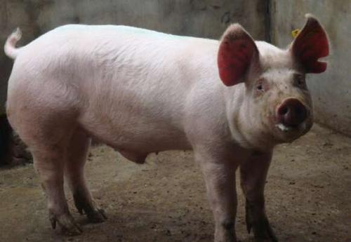 2019年06月16日全国各省生猪价格内三元价格报价表