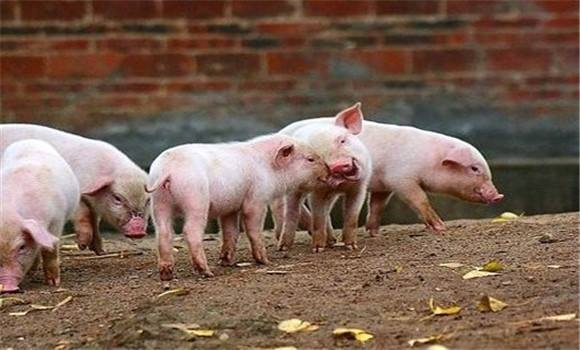 2019年6月16日仔猪价格:10公斤仔猪价格行情走势