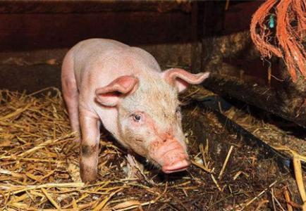 2019年6月16日仔猪价格:15公斤仔猪价格行情走势