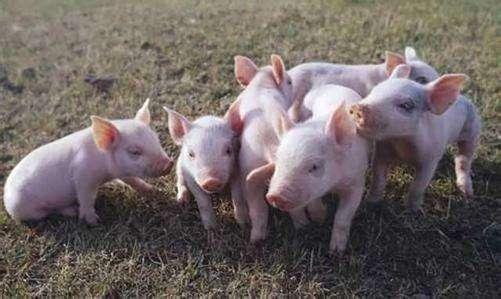 贵州省贵阳市乌当区非洲猪瘟疫区解除封锁!