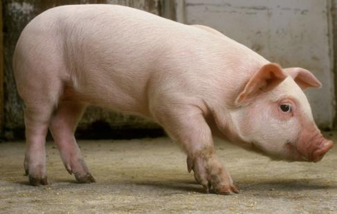 山东威海猪友37头猪卖了9.3万元!猪价涨势喜人一扫非瘟阴霾