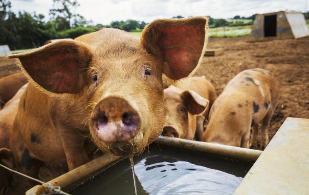通过猪尿来判断猪病的10个小技巧,尿液能反映出是否生病