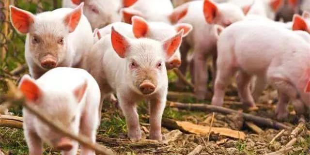 沈阳严重缺猪,将从黑龙江调运! 东北猪价或继续上涨