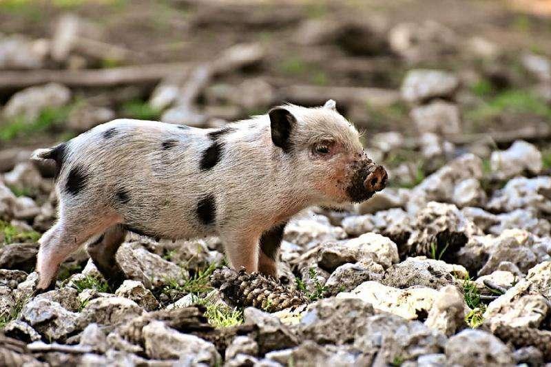 专家:非洲猪瘟防控难度大 生猪产能下降明显