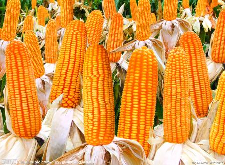 2019年06月17日全国各省玉米价格及行情走势报价表