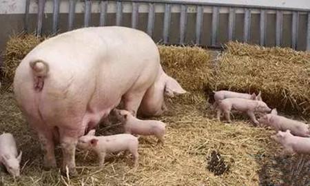 夏季提高母猪采食量的四个方法!