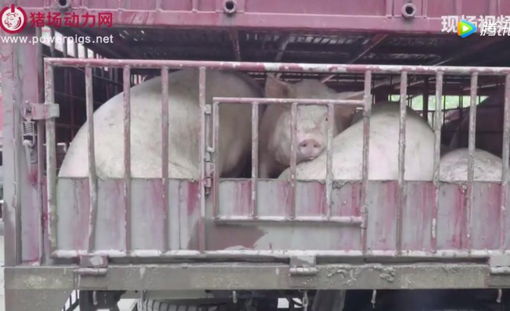 慈利养猪协会会长被拘10日,什么才是联防联控的正确打开方式?