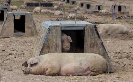 猪的自愈力究竟有多强大?