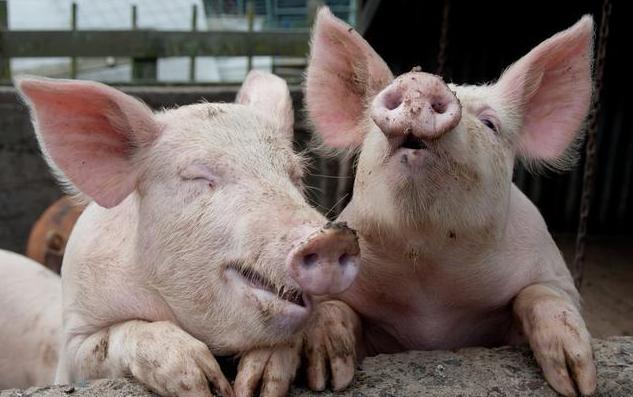 中国有意加大德国猪肉进口量 或开放对德牛肉的进口