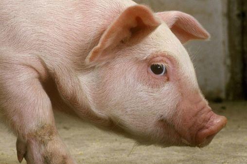 发生过非洲猪瘟猪场的复产工作,猪场复产复养有前提条件!