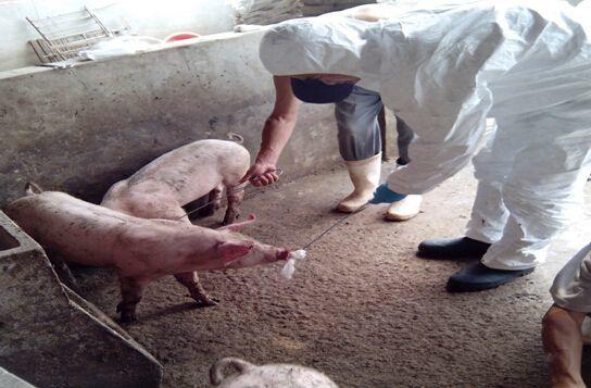 猪繁殖与呼吸综合征病毒控制中的生物安全措施!