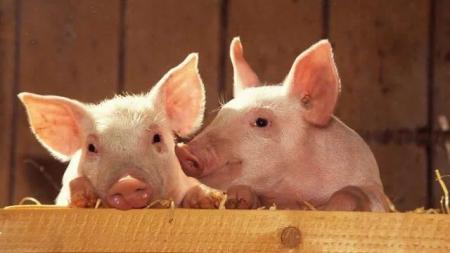 2019年6月18日(19至30公斤)仔猪价格行情走势