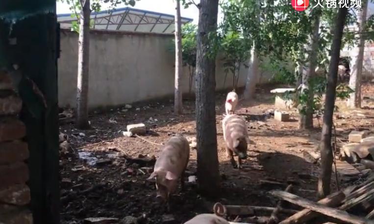 家里的猪养不好?养猪人详细解说养猪技巧!