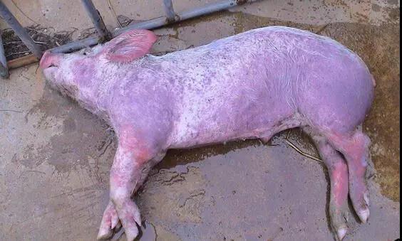 都说猪瘟没治了,兽医拿出预防3招,养殖户们拍手称赞!