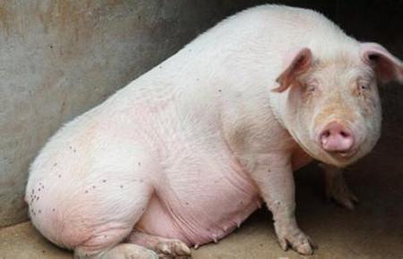 胀肚子死的猪越来越多了,学习这个病的临床诊断与防治措施