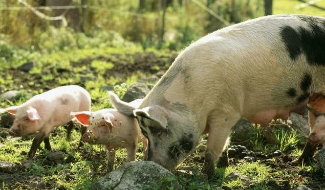 肥猪分餐和自由采食 (养猪知识)