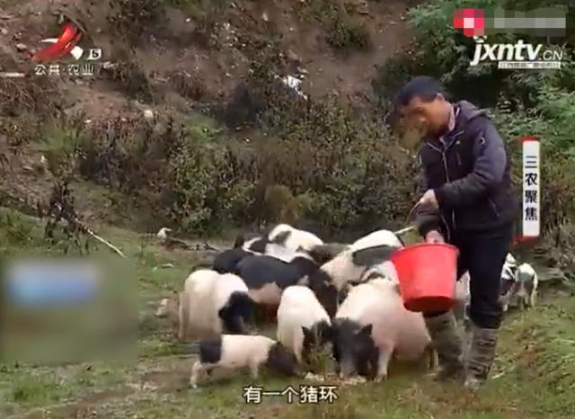 猪肉卖到40元一斤,男子开创互联网养猪新模式,产品热销全国各地