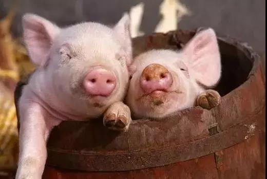 猪圆环病毒2型(PCV2)是引起猪的全身性淋巴结肿大,免疫力低下等免疫抑制性