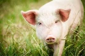 6月19日全国生猪价格再创新高,短期看仍将上行!