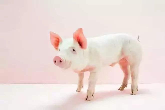 辽宁广东生猪紧俏、价格突破节点,南猪北运补产能缺口
