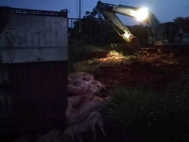 广西桂林非法运输生猪频发 数百头生猪被就地无害化处理