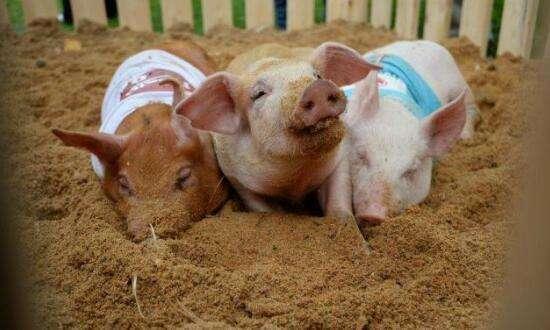 6月20日全国生猪价格东北一路飙升,南方猪价也不甘落后