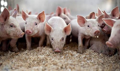 生猪价格持续上涨!为何专家不建议现在补栏?