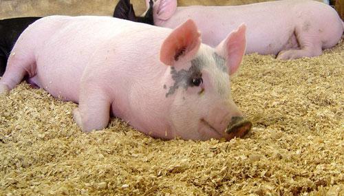 关于猪价涨跌,您是什么心态?