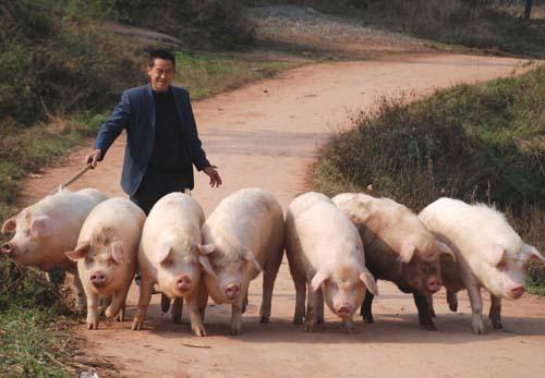 12大上市企业5月份生猪出栏421.11万头,同比增1.77%