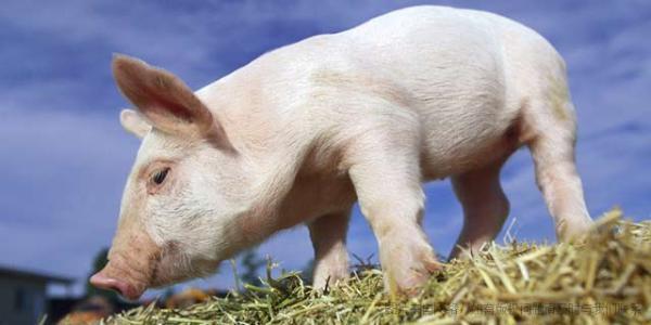 吉林省5月生猪收购价格小幅下跌 疫情制约猪肉消费