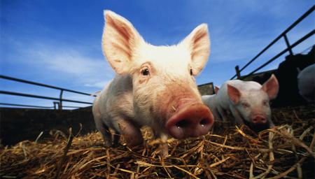 猪价快速上涨下的新风险!