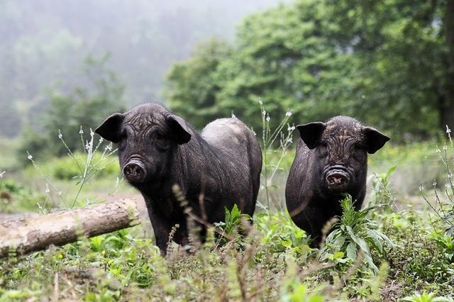 山东枣庄:猪肉销售淡季 猪肉价格不降反升