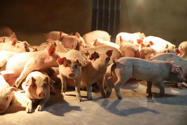 仔猪日益消瘦还有不断死亡的趋势是为哪般?