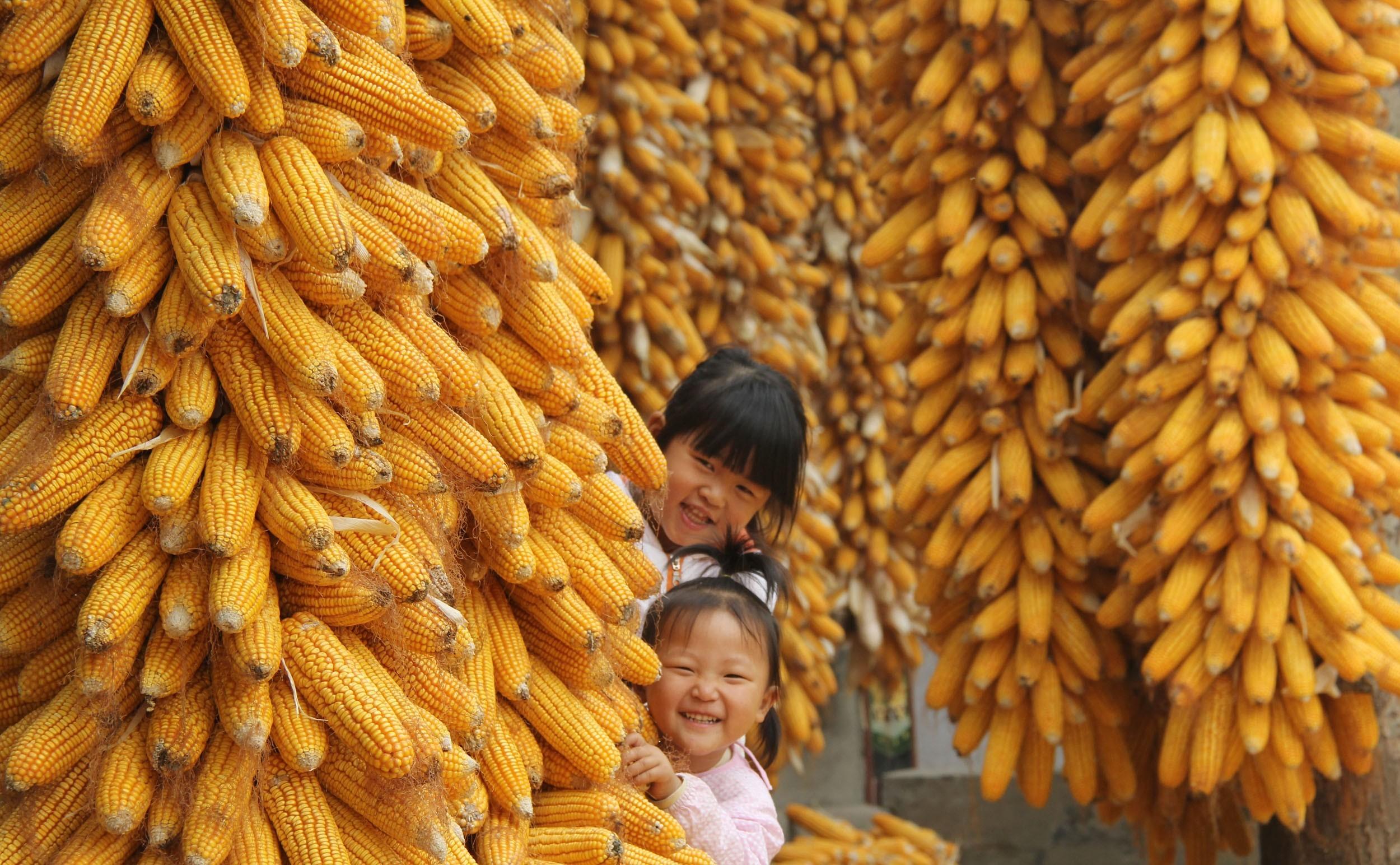 玉米价格理性回归!未来涨跌仍看拍卖?