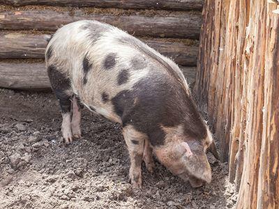 泰国发布通告,宣布禁止进口老挝生猪90天