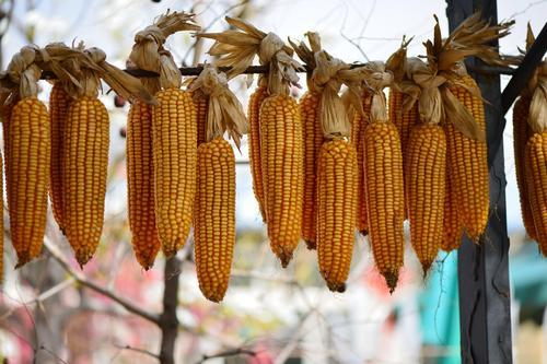 下周预判丨短期玉米市场影响因素及行情判断