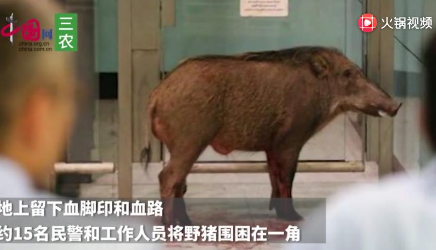受伤野猪闯香港车站撞伤乘客 血洒一地乱窜兽医开麻醉枪制服