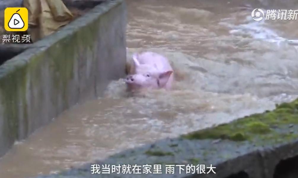 """湖北暴雨困住500头生猪,""""二师兄""""水中历险,消防凿墙救援"""