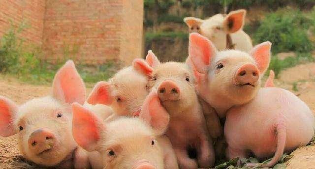 河南:抓好非瘟防控工作稳定生猪产能 引导小散户三进三退