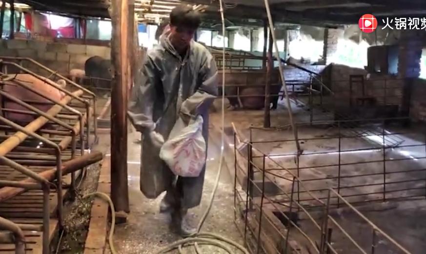 农村养猪场日常护理,隔5天就要给猪场消毒,不勤快就血本无归!