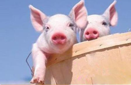 2019年6月24日(10至14公斤)仔猪价格行情走势